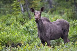 Cow Moose Rain