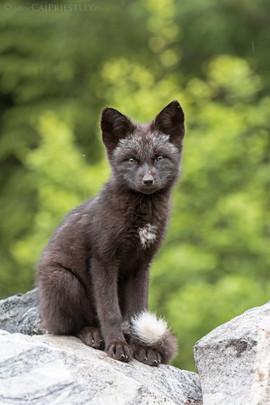 Black Fox Kit Sitting
