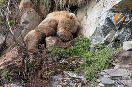 Sleeping Grizzly Bear