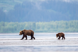 Grizzly Bear Sow And Cub 2