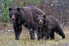 Grizzly Bear Sow And Cub 4
