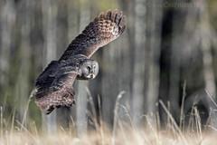 Great Grey Owl Flight 1