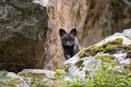 Black Fox Kit 1