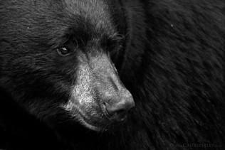 Black Bear Portrait B&W