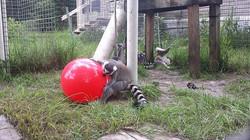 Lemur playing