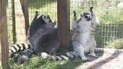 Lemurs hanging out