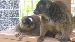 Brown lemurs