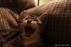 Kitten Yawn: Kettle Corn