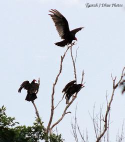 Turkey Vultures Landing