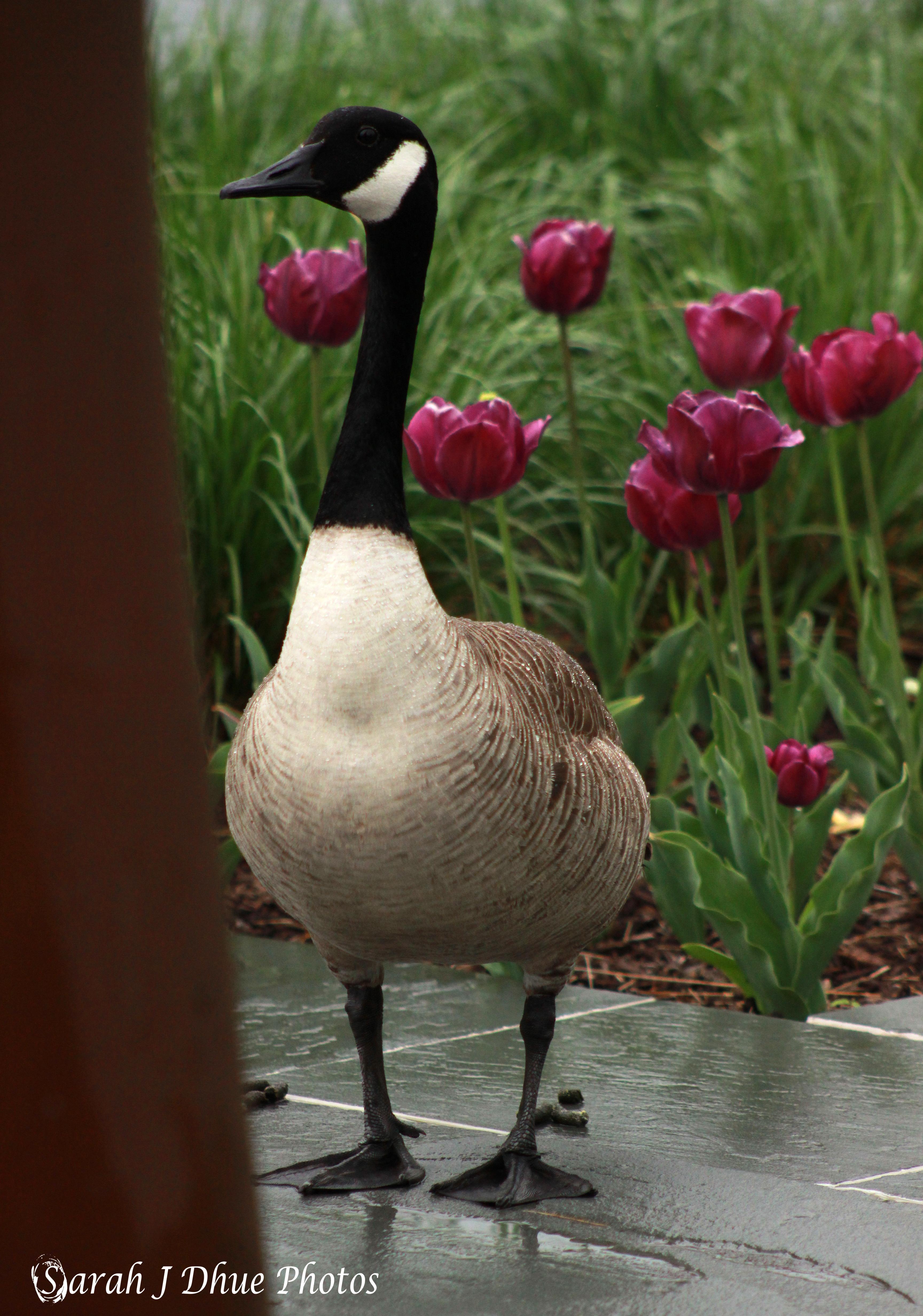 Majestic Goose