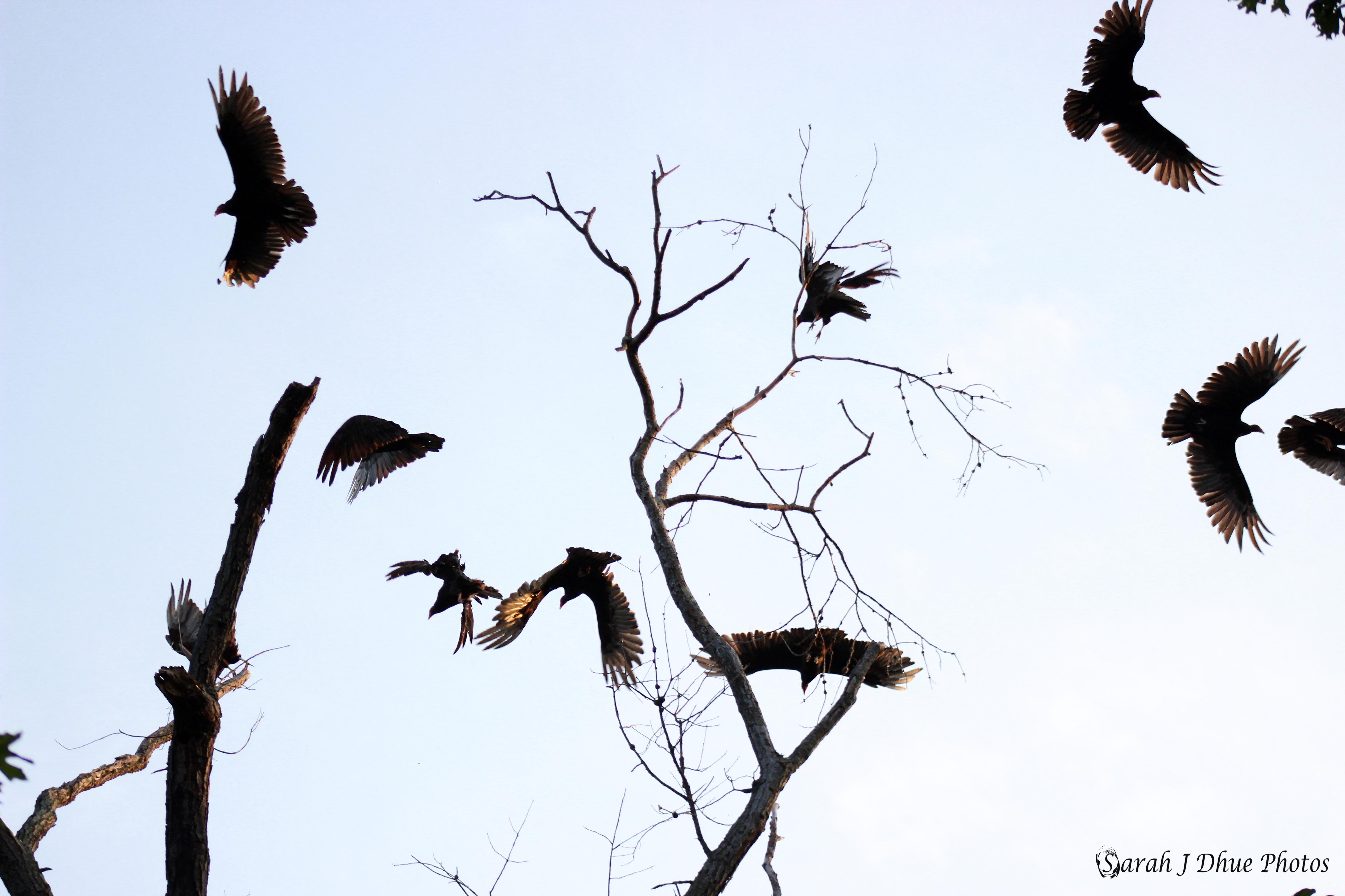 Turkey Vultures in Flight