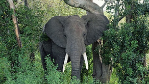 Elefantes ajudam as florestas a terem árvores maiores e a reduzir o gás carbônico na atmosfera.