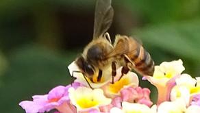 Muito da mesma ou menos de várias? A importância da diversidade de abelhas para a produção de frutos