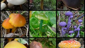 Por que os cogumelos são tão coloridos e escuros?