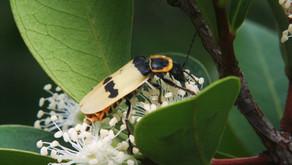 Besouros também podem ser polinizadores?