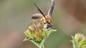 Marimbondos controlam insetos pragas em ambiente urbano! Controle biológico de graça nas cidades.