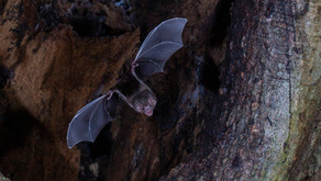 Morcegos vampiros ajudam a desvendar o mistério do olfato dos mamíferos