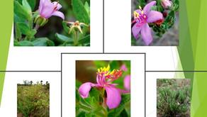 Descobertas duas Novas Espécies de Plantas do Cerrado!