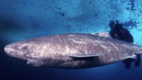 Um Tubarão com 512 anos de idade!      Pode ser o vertebrado mais velho do mundo.