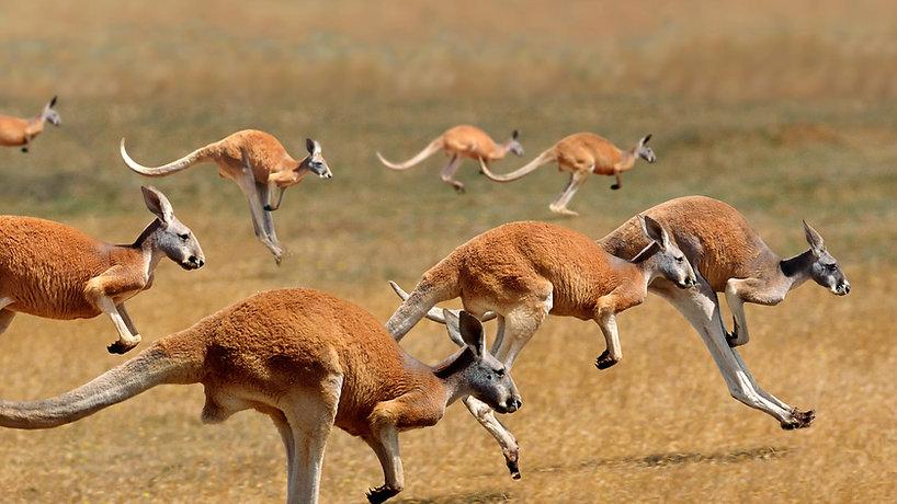kangaroo-hd-wallpapers-herd 2.jpg
