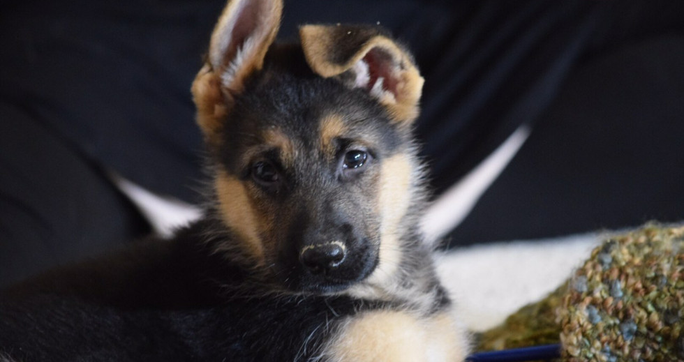Available Puppy