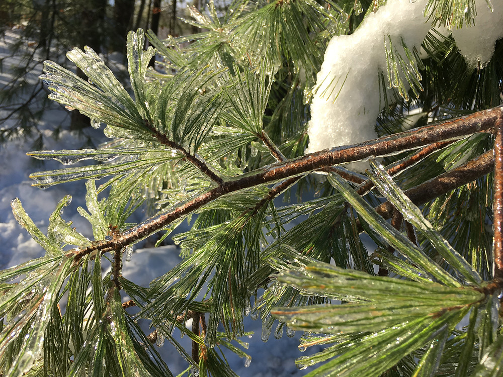 Ice-coated Pine Boughs