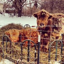 2 little steers