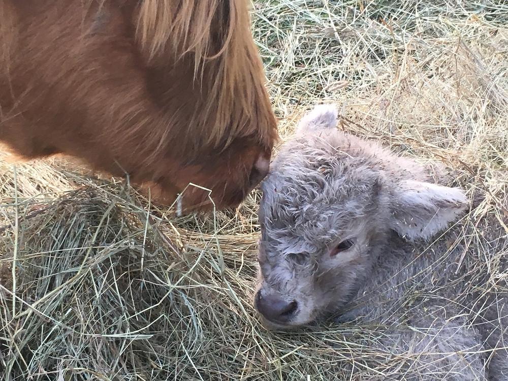 Scottish Highland cow and calf