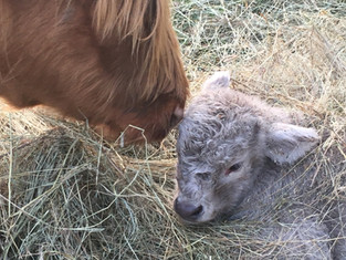 This is Trixie and her bull calf, Ivan