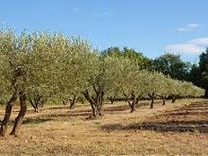 olivier plantation.jfif