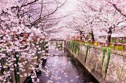 meguro river (目黒川)