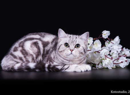 Питомник британских кошек.