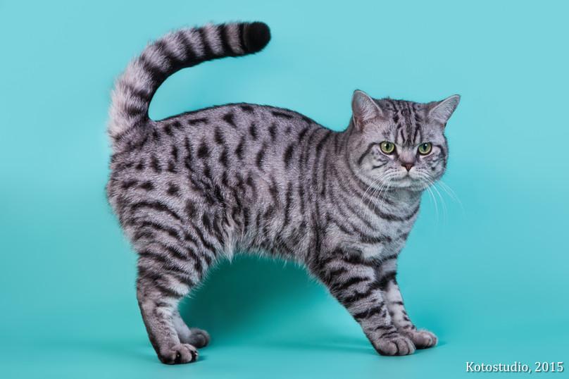 GICH.Triumph Silver Miracle Cat's*RU &v.Katzenheim