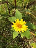 Mini Sunflower.jpg