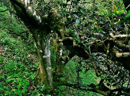 He Kai Ancient Tree Puerh – A Long Walk
