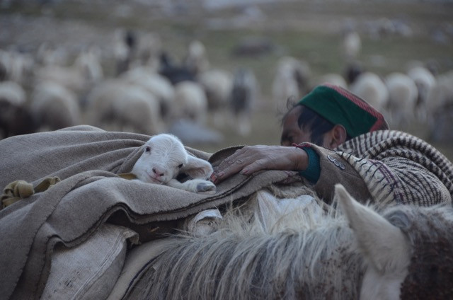 A shepherd puts a newly born goat in a makeshift sleeping bag to keep it warm.