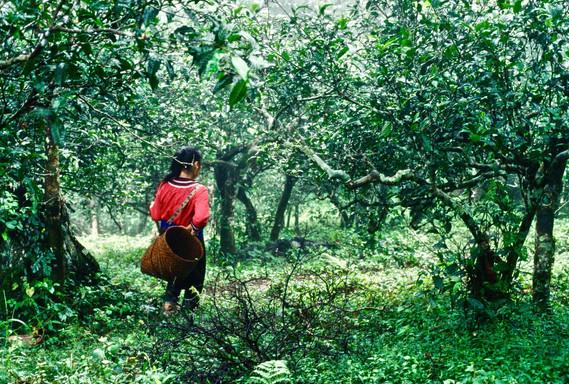 Ancient Tea Forest - Xishuangbanna, Yunnan