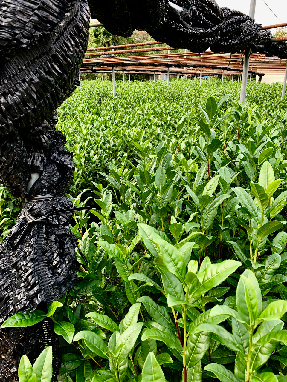 Leaves that will provide the raw materials of Gyokuro