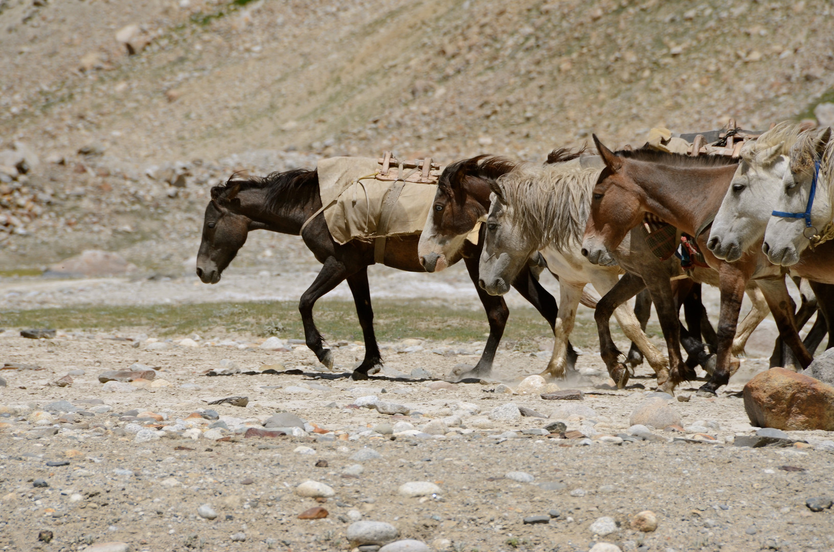 Horses - Himalaya