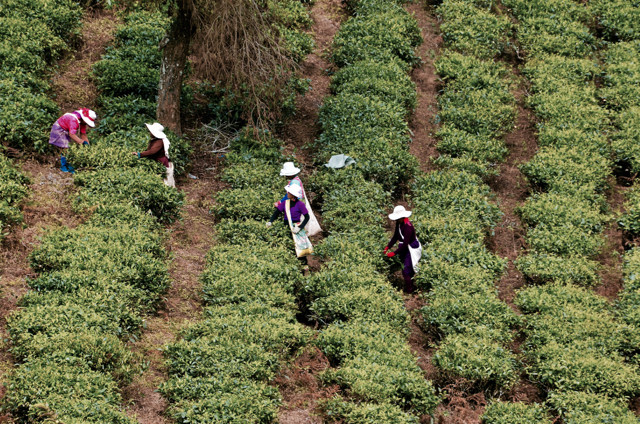 Bushes are often pruned to keep them relatively neat and easy to harvest from. Communities that are fortunate enough to have ancient trees want to retain them in their natural forms and refrain from over-harvesting. The value of such teas consistently rises with each new year.