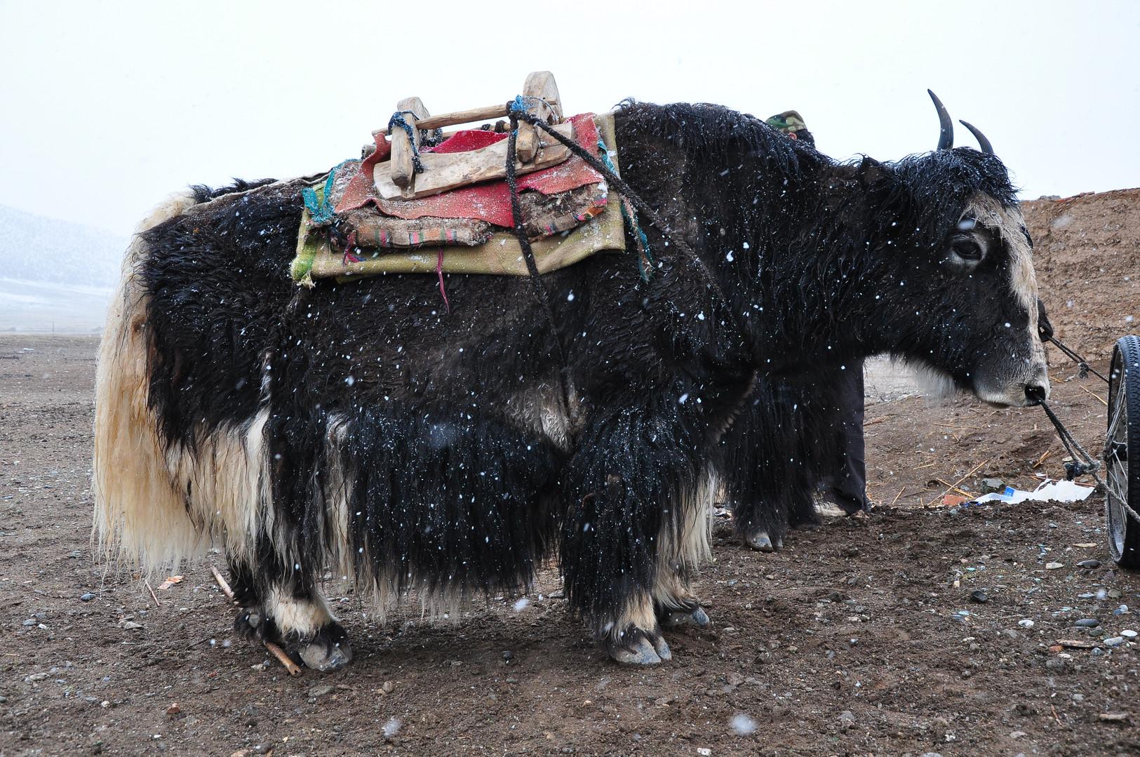Transporter - Amne Machin, Qinghai