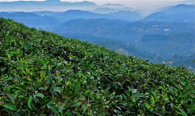 Sri Lanka Tea Journey - Jeff Fuchs