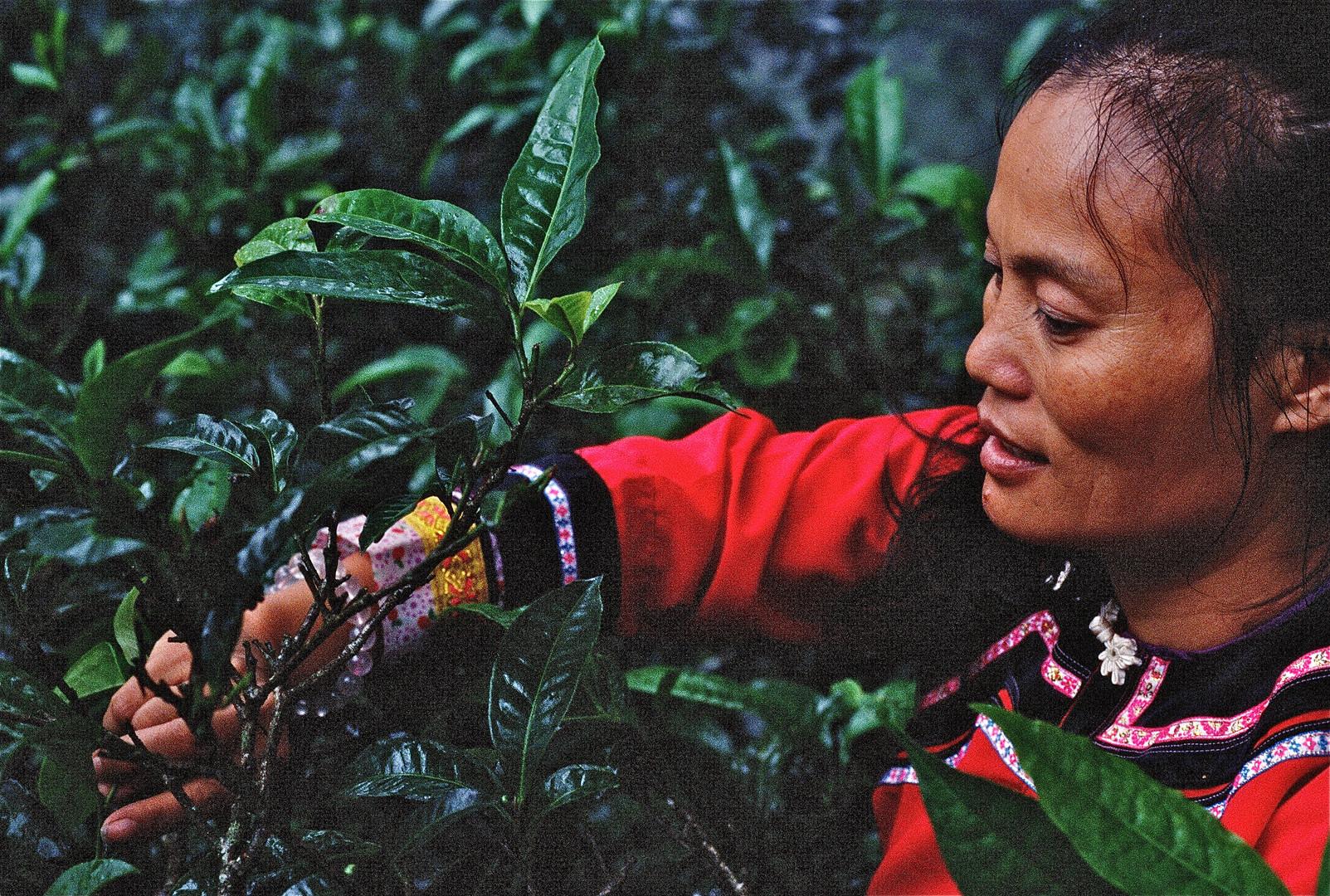 Tea Tree Harvest - Yunnan