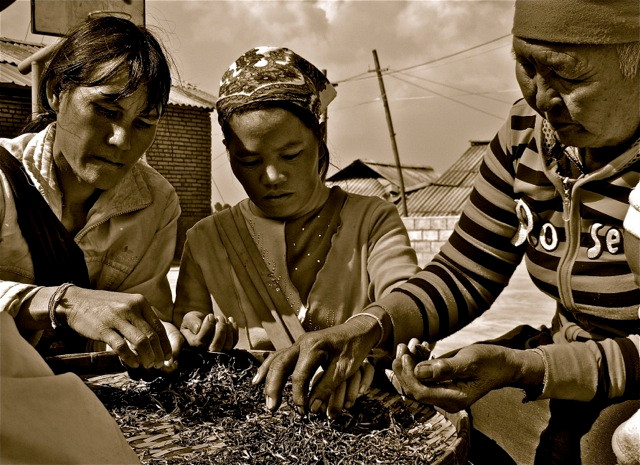 Lahu women of the Pulang Mountain area sort through dried tea leaves