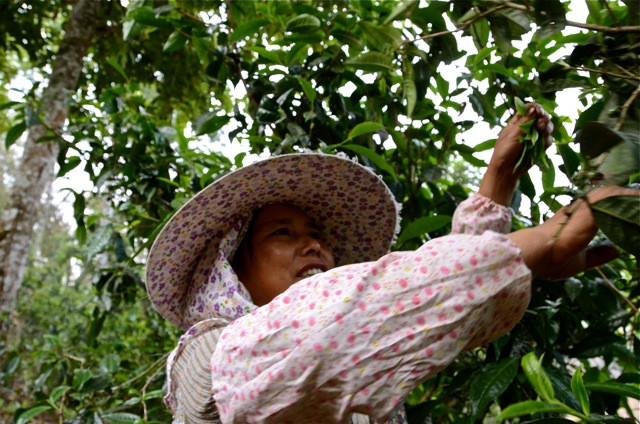 In order to pick in Banzhang's tea forests, harvesters are instructed to clip in a certain way. Many 'outsiders' are brought in to help with the biggest harvests.