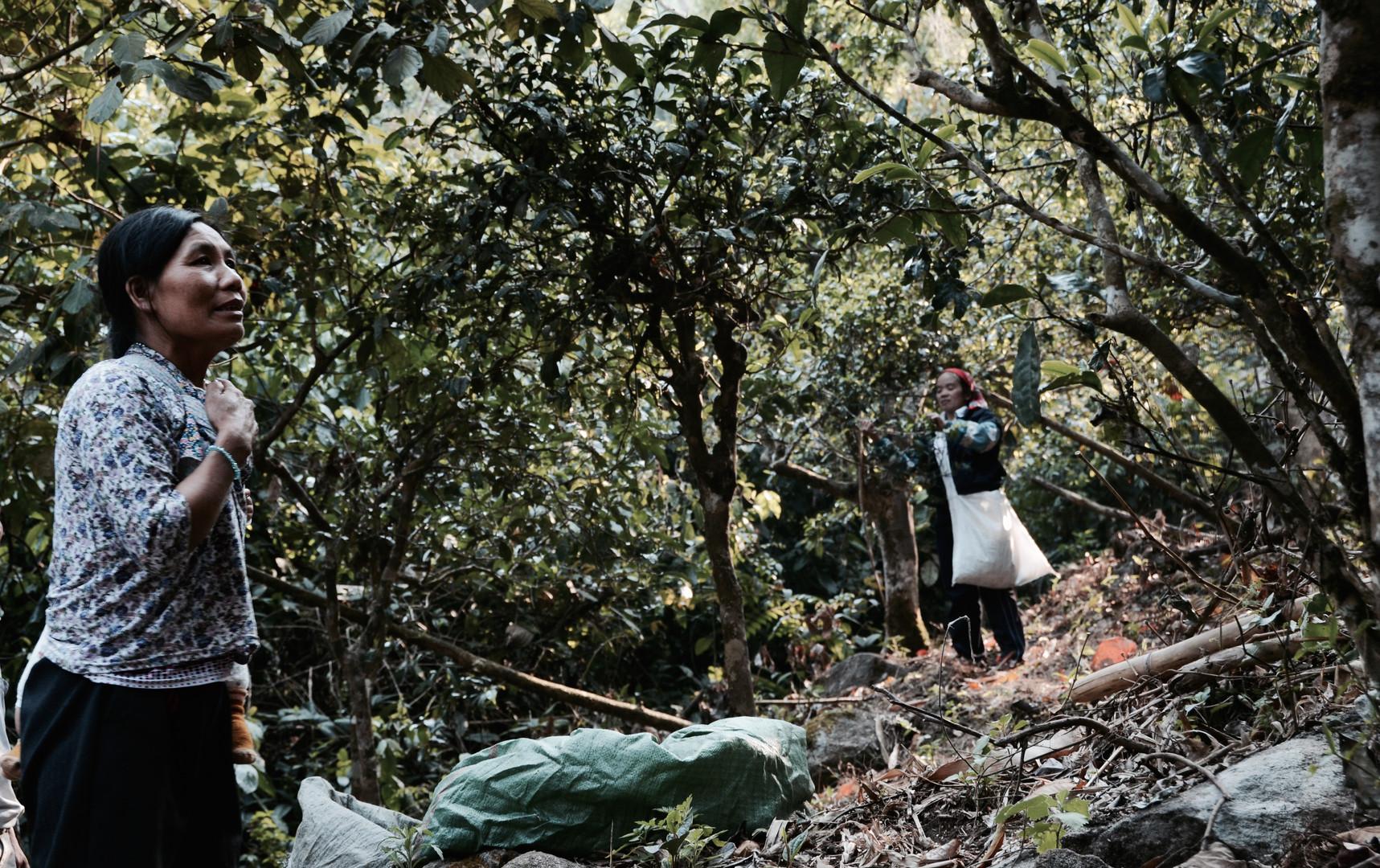 Tea Tree Harvest - Nannuo Mountain, Yunnan