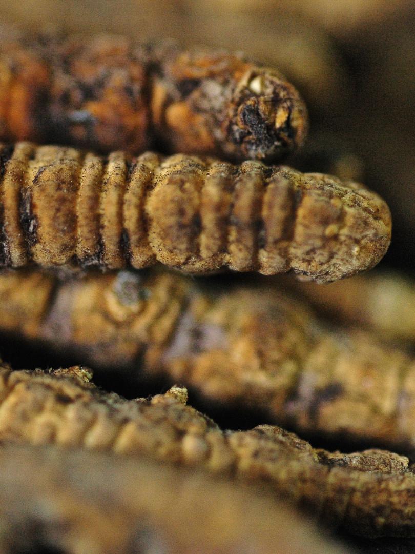 The 'Worm' - Caterpillar Fungus, Tibet