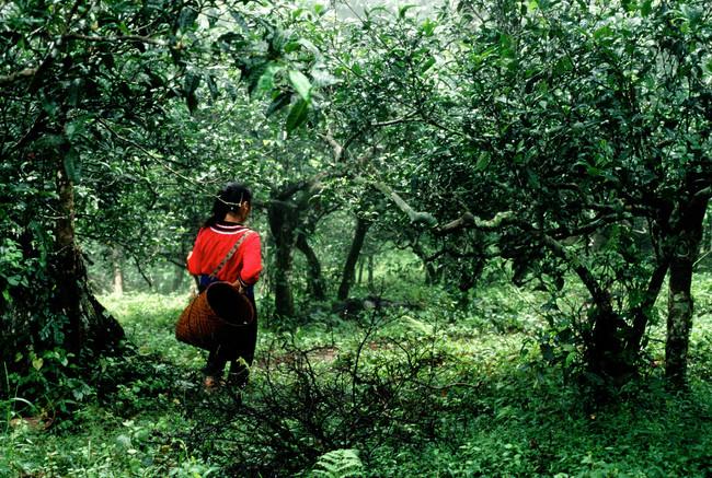 Ancient Tea Forest - Southwestern Yunnan