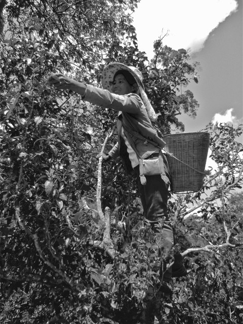 A tea harvester plucks from within the embrace of an ancient tree