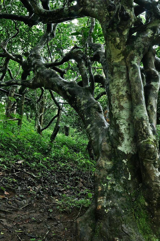 Ancient Tea Tree (The Grandmother) - Nannuo Mountain, Yunnan